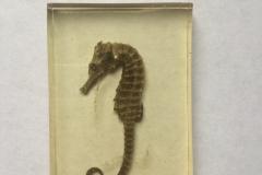 Likely aquacultured Hippocampus erectus (2017)