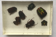 Assorted Coleoptera - dorsal view (2018)