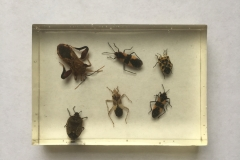 Assorted Hemiptera - dorsal view (2018)