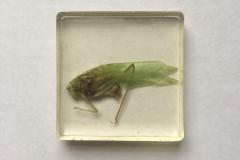 Orthoptera (2018)