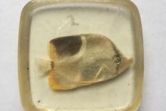 Butterflyfish, genus Chaetodon (2012?)
