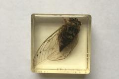 Cicada (2018)