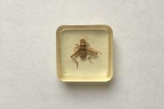 Banded cricket - Gryllodes sigillatus (2015)